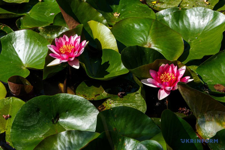 Des nénuphars fleurissent sur le lac / Photo: Serhiy Gudak, Ukrinform