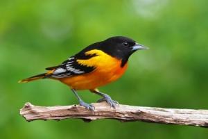 В Северной Америке за 50 лет вымерли три миллиарда птиц