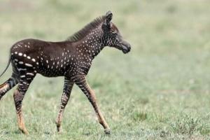 """У  Кенії сфотографували унікальну зебру - в """"цяточку"""""""