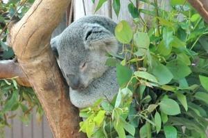 Австралийский зоопарк предлагает провести ночь среди коал