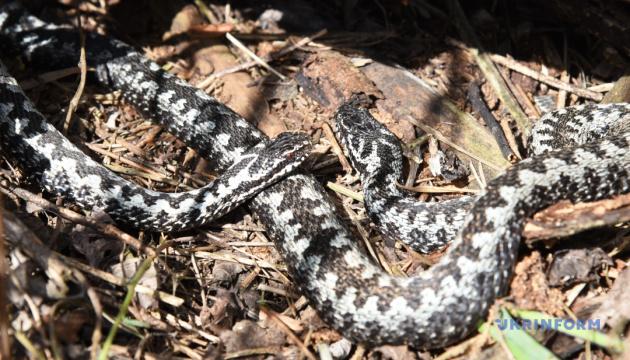 Що робити при укусі змії – поради фахівців