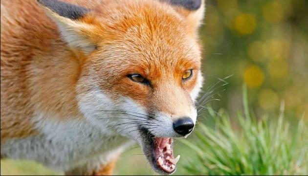 У Миргороді — карантин через сказ, лисиця покусала людей