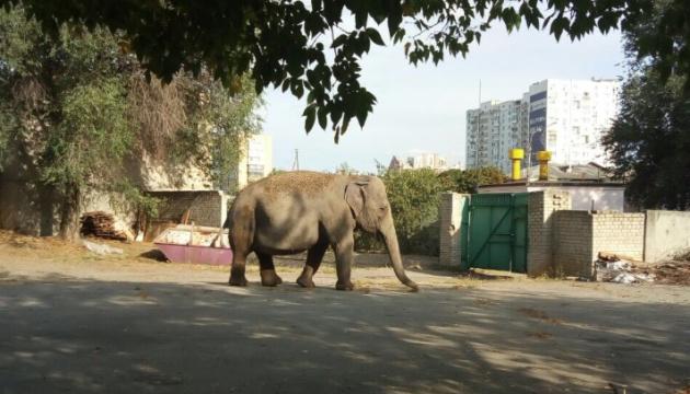 Харків'ян налякала слониха, яка гуляла біля цирку