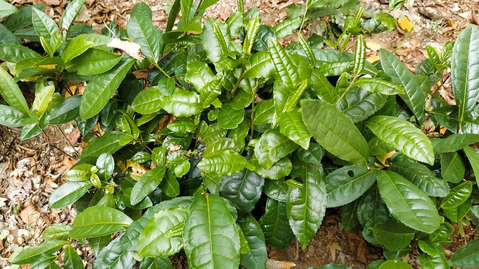 В районе Мукачево на плантации расцвел чай. Фото