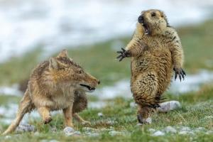 Лисиця та переляканий бабак: найкращі фото дикої природи