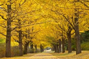 В Коломыйской тергромаде высадят 200 деревьев гинкго