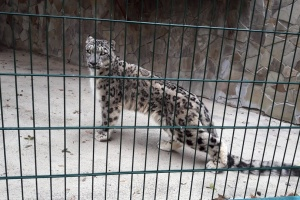 """Снежный барс из Франции """"поселился"""" в николаевском зоопарке"""
