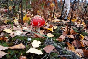 Из-за потепления в лесах на Прикарпатье почти исчезли красные мухоморы