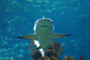 Випробування атомної зброї допомогли встановити вік акул