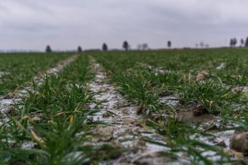 Na Ukrainie stan upraw ozimych jest w 90% dobry i zadowalający - eksperci