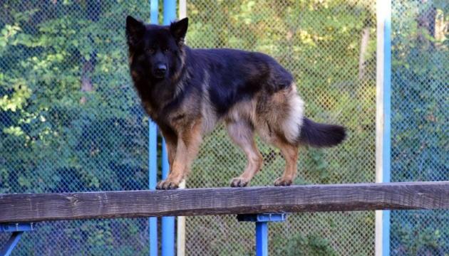 Поліцейський пес із Донеччини виборов п'яте місце на змаганнях у Чехії