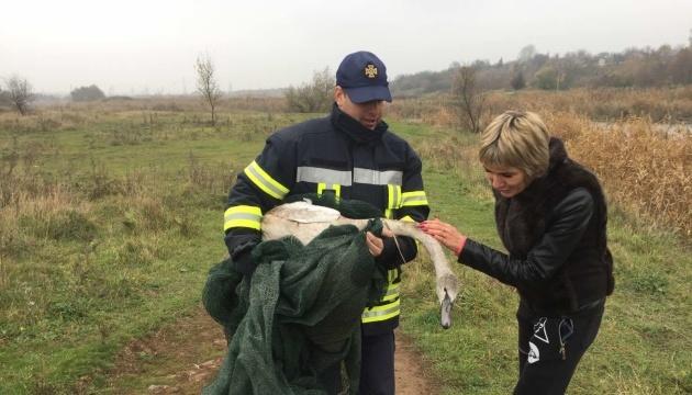 На Донеччині врятували лебедя, який заплутався в очереті