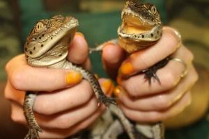 Харківський зоопарк обміняв дитинчат нільських крокодилів на варанів