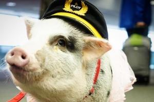 Свинка-терапевт допомагає пасажирам зняти стрес в аеропорту Сан-Франциско