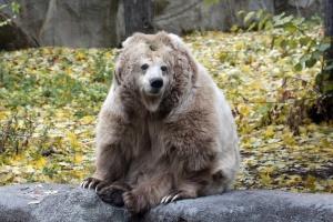 У Київському зоопарку перший ведмідь впав у зимову сплячку