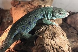 """Одни из самых крупных ящериц в Европе """"поселились"""" в Николаевском зоопарке"""