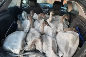Четверо лебедів із Чернігівщини переїхали до Межигірського притулку