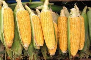 Українська кукурудза на експорт додає в ціні