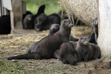 Ukrainian mink farms ready to vaccinate mink against coronavirus