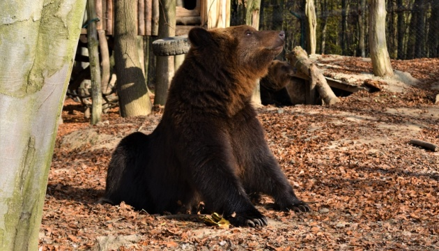 Осіннє тепло не дає заснути ведмедям у Карпатах