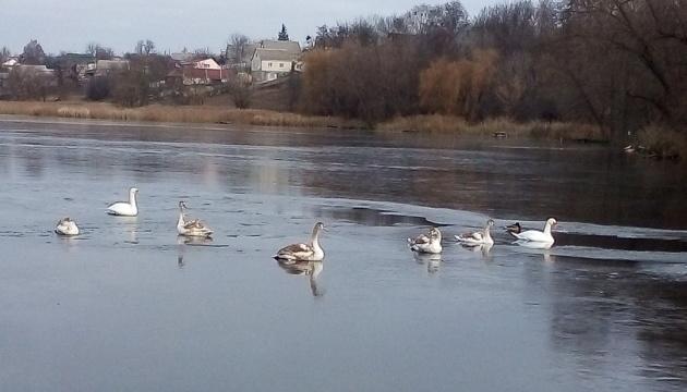 Рятувальники визволили з крижаної пастки 15 лебедів