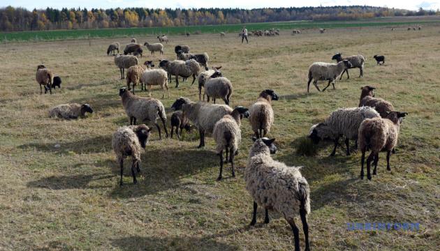 Вівчар з міського офісу: за кого в селах моляться жінки