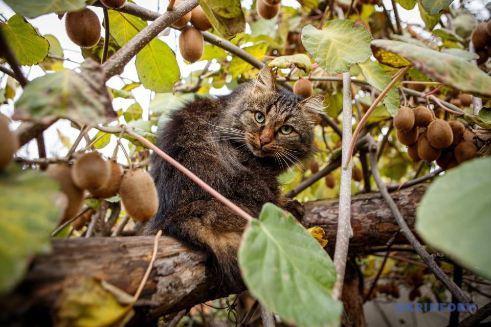 Кот среди плодов киви морозостойкого сорта. Фото: Сергей Гудак/Укринформ