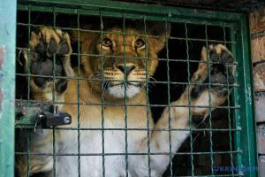 """П'ятьох левів із бердянського зоопарку """"переселять"""" до Африки"""