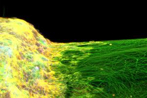 Учені вперше створили 3D-модель нервової системи на основі стовбурових клітин