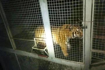 Tiger tötet Mitarbeiter in Zoo der Stadt Mena