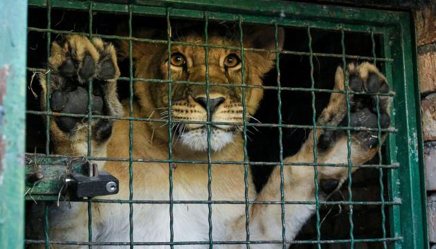 Пятерых львов из бердянского зоопарка