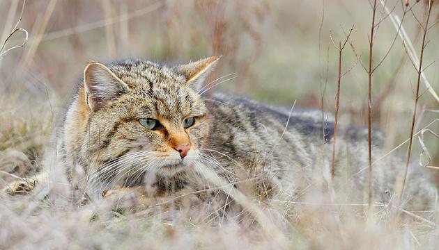 Рідкісного лісового кота виявили у заповіднику на Тернопільщині