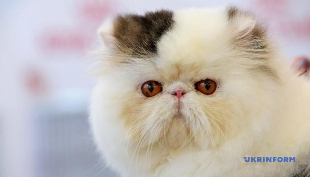 Лисі і пухнасті: виставка котів у Харкові