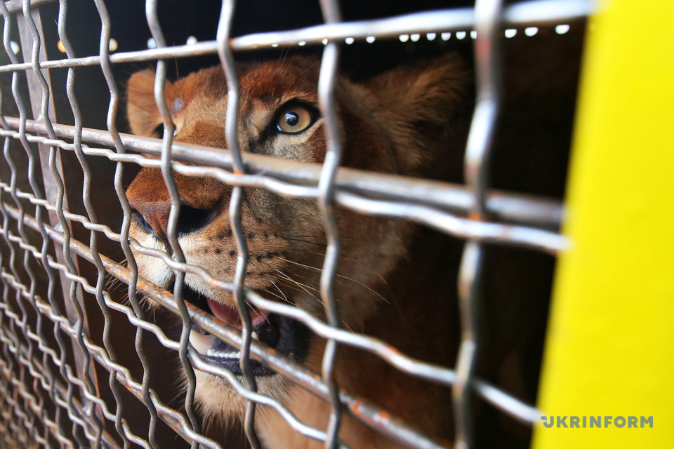 The transportation of lions from Berdiansk Zoo to Love Lions Alive Sanctuary in South Africa / Photo: Pavlo Bahmut, Ukrinform