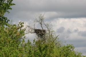 На Николаевщине браконьеры срезали деревья, где гнездились орланы-белохвосты