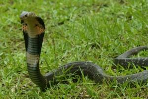Джерелом нового вірусу в Китаї могли бути змії