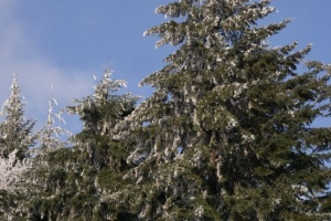 Під Ужгородом росте плантація цінного хвойного дерева, завезеного 112 років тому