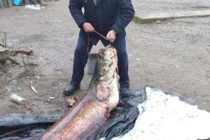 Понад два метри, 65 кіло: на Рівненщині спіймали велетенського сома