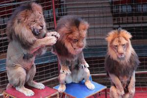 МКМС закликає українців висловитися щодо цирків без тварин