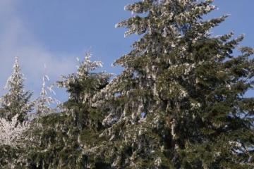 Под Ужгородом растет плантация ценного хвойного дерева, завезенного 112 лет назад