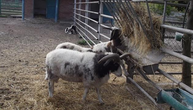 В винницком зоопарке родились двое камерунских козлят и ягненок