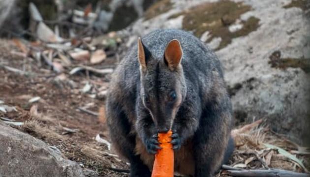 В Австралії постраждалих від пожеж тварин нагодували з повітря