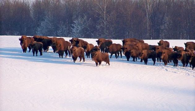 ヴィンニツャ州にてバイソンの仔が7頭誕生