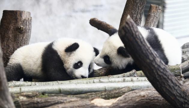 Берлинские панды-близнецы впервые вышли в свет