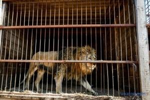 Quel sort sera réservé aux animaux de cirque et à leurs dresseurs en Ukraine?