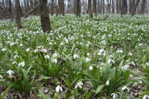 У Холодному Яру рекордно рано розквітли тисячі підсніжників