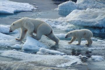 Le 27 février est la Journée internationale de l'ours polaire