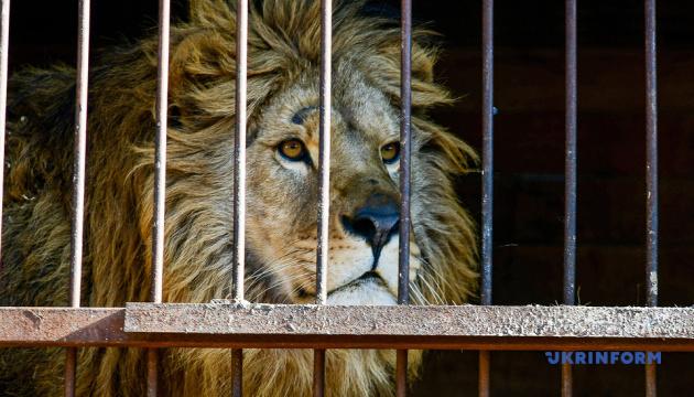Із Василівського центру реабілітації хижаків відправили до ПАР першого лева