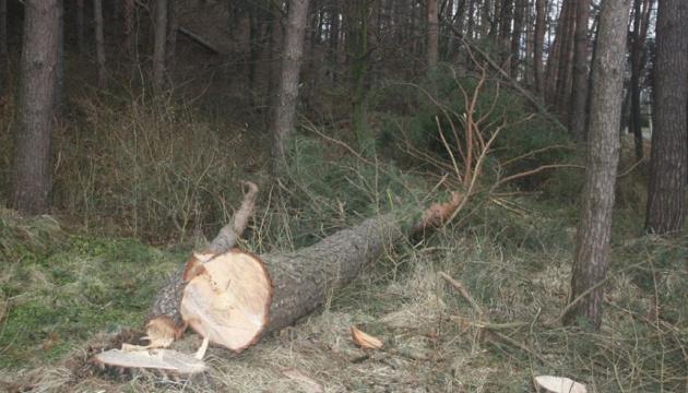 В Калуше люди требуют приостановить сплошную вырубку соснового леса