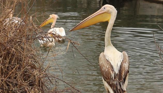 У Харківському зоопарку відзначили день народження рожевого пелікана